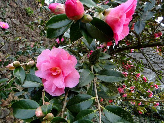 2015 05 03 photo du jour nicole-camélia rose 2.JPG